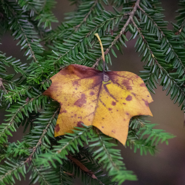 """Yellow leaf on an evergreen branch"" stock image"