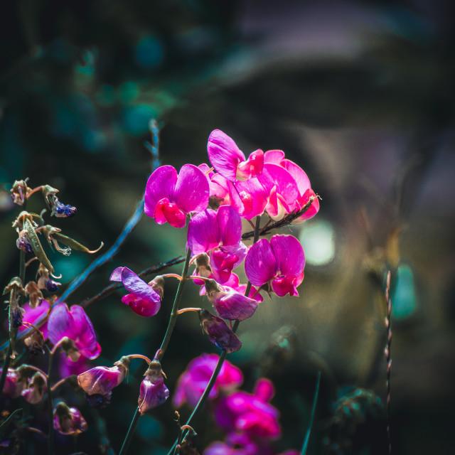 """Purple Flower flowers"" stock image"