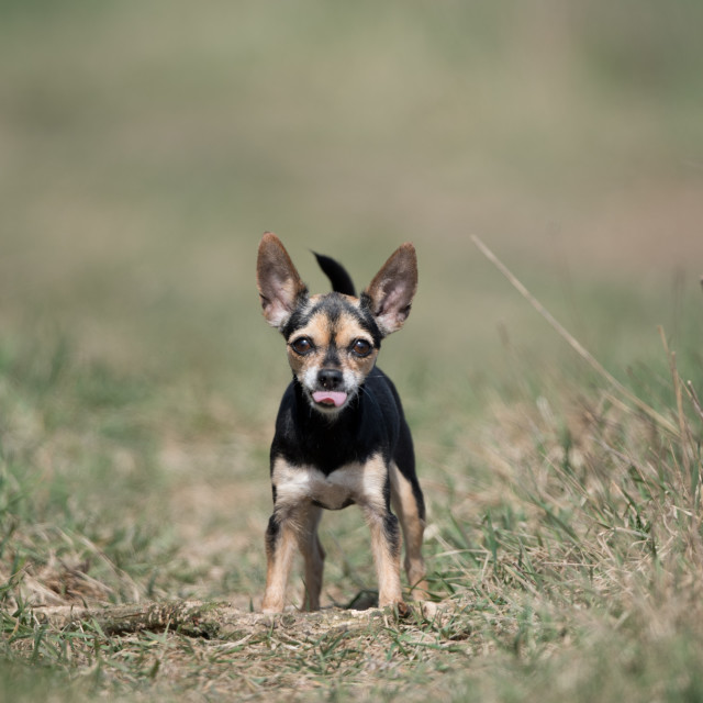 """""""Isolated chihuahua posing with tongue out"""" stock image"""