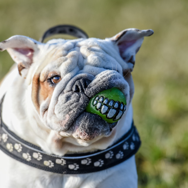"""""""Isolated English bulldog with a smily ball in his mouth"""" stock image"""