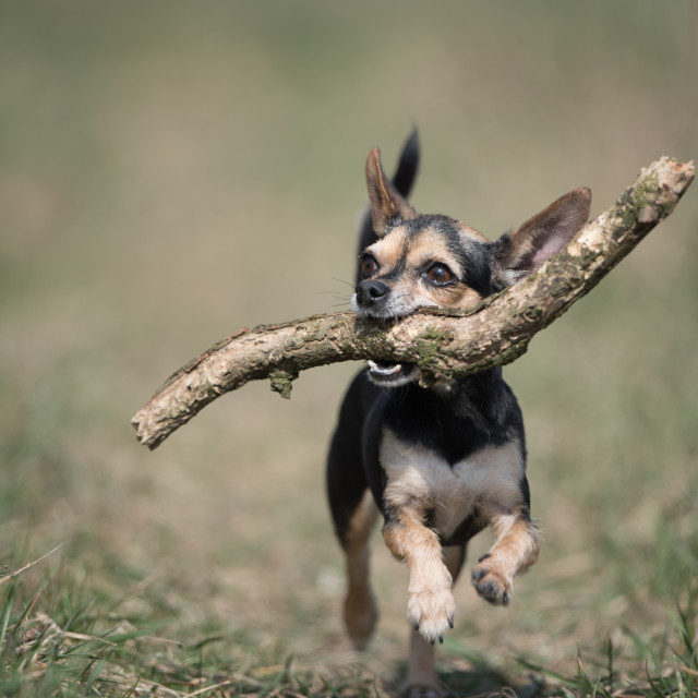 """""""Isolated chihuahua running with a large stick in his mouth"""" stock image"""