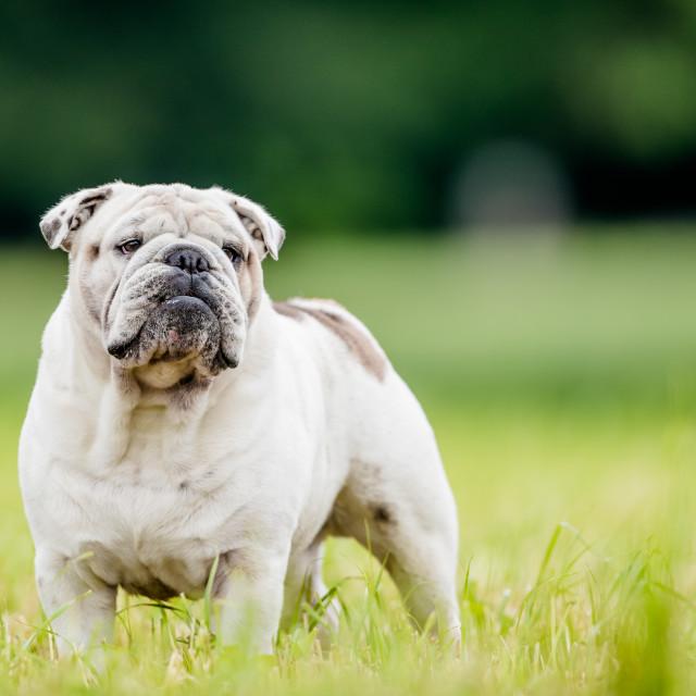"""""""White isolated English bulldog posing"""" stock image"""