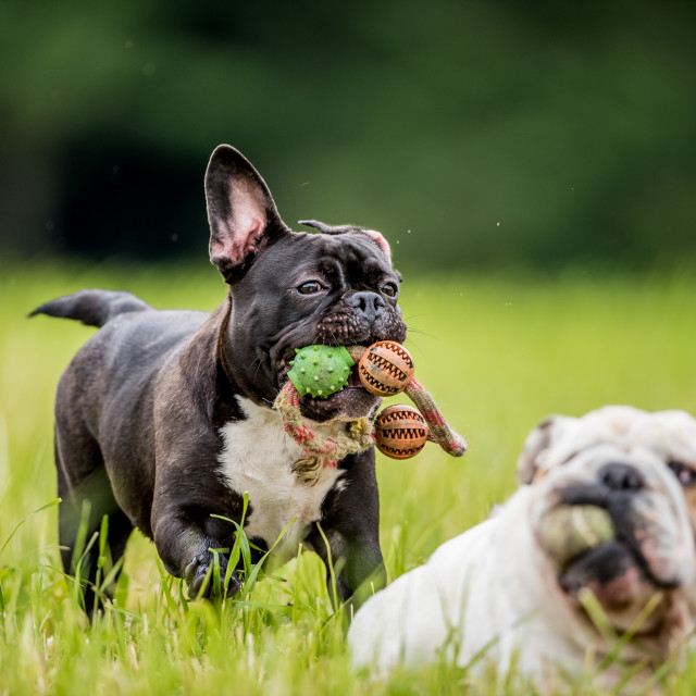 """""""Two isolated English bulldogs playing"""" stock image"""