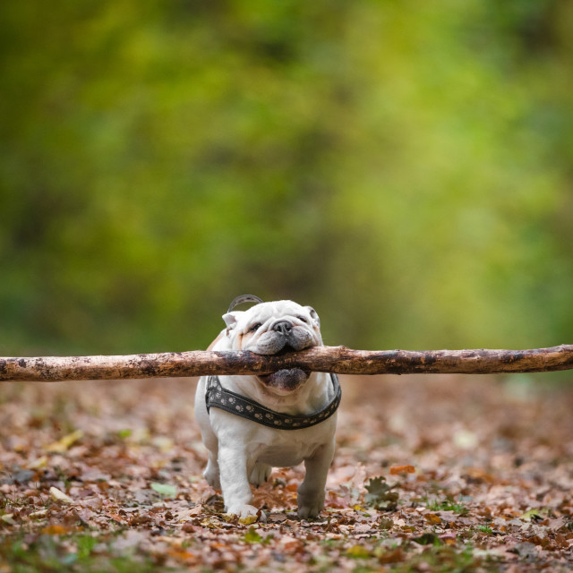 """""""Isolated English bulldog running with a very large stick in his mouth"""" stock image"""