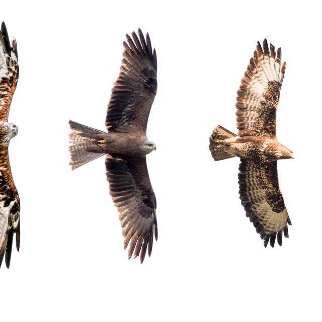 """Isolated birds of prey"" stock image"