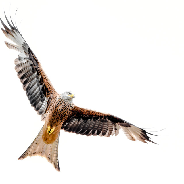 """""""Isolated red kite in flight with fully open wings on white background"""" stock image"""