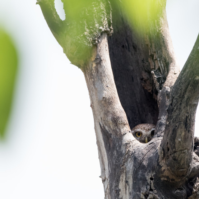 """""""Spotted owlet hiding in a tree hole"""" stock image"""