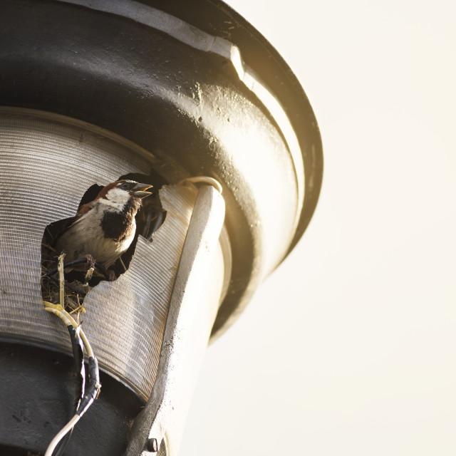 """Urban sparrow"" stock image"