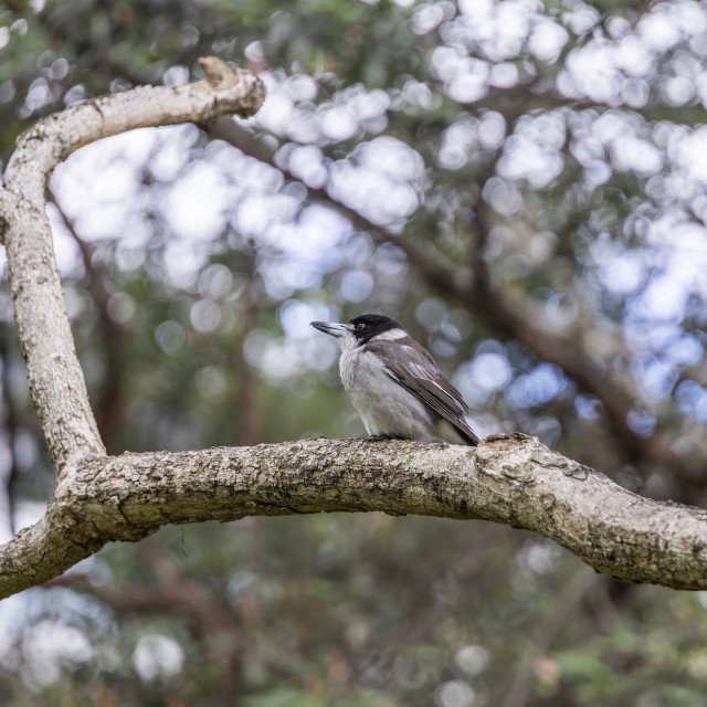 """A Grey Butcherbird"" stock image"