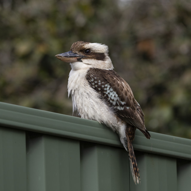 """A Laughing Kookaburra"" stock image"