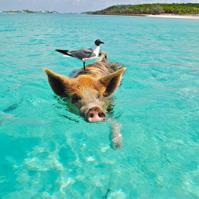 """""""Swimming Time For Animals - Happy for Vacation ."""" stock image"""
