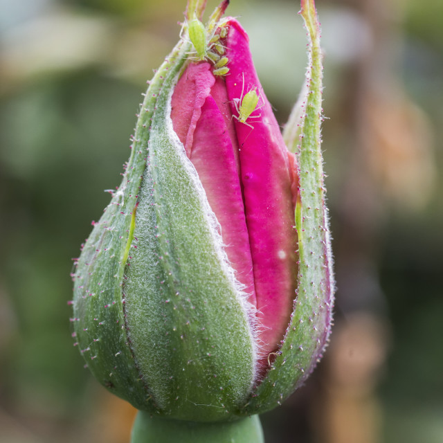 """""""Aphids on rosebud"""" stock image"""