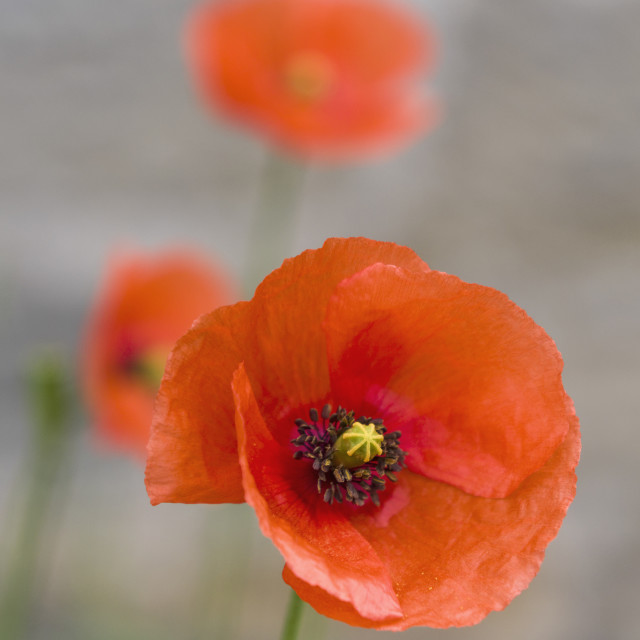 """""""Long-headed poppy, Papaver dubium, flowering in UK with selectiv"""" stock image"""