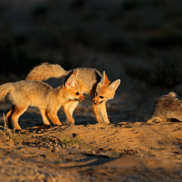 """""""Cape foxes at their den"""" stock image"""
