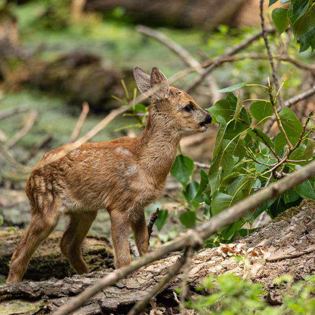 """""""Young roe deer eats leaves from a tree in a wood"""" stock image"""