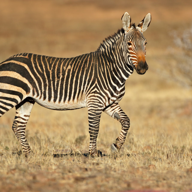 """Cape mountain zebra in natural habitat"" stock image"