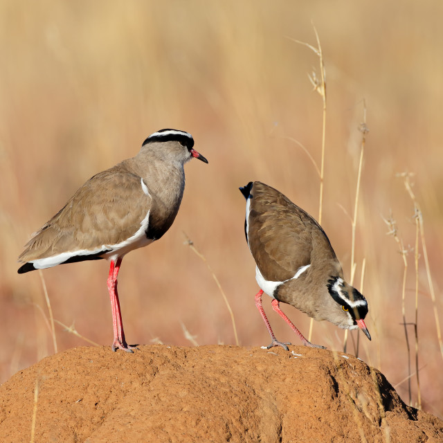 """Crowned plovers standing on an anthill"" stock image"