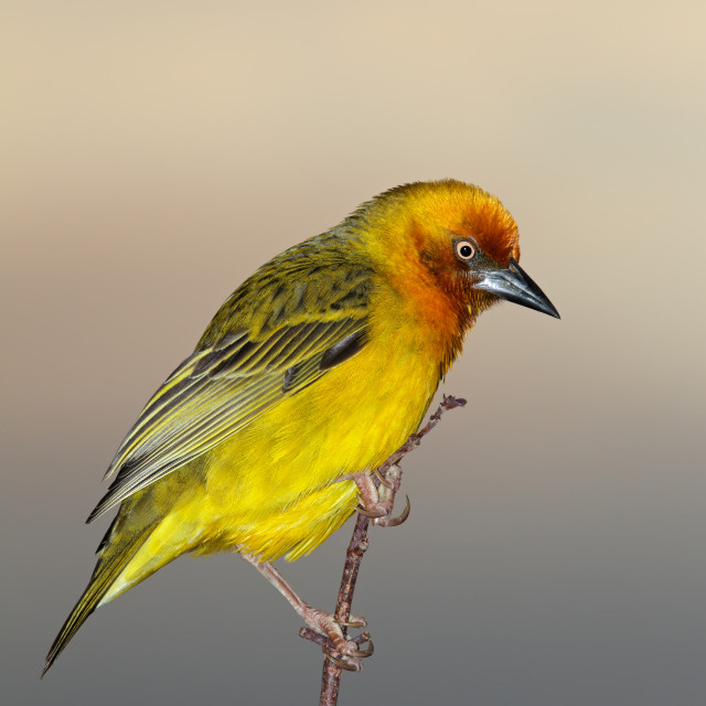 """Cape weaver on a branch"" stock image"