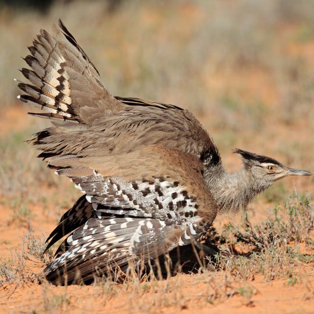 """""""Kori bustard displaying - Kalahari desert"""" stock image"""