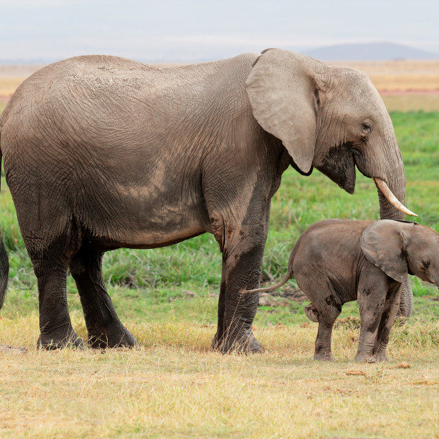 """African elephant with calf - Amboseli National Park"" stock image"