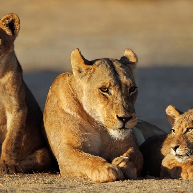 """""""Lioness with cubs - Kalahari desert"""" stock image"""