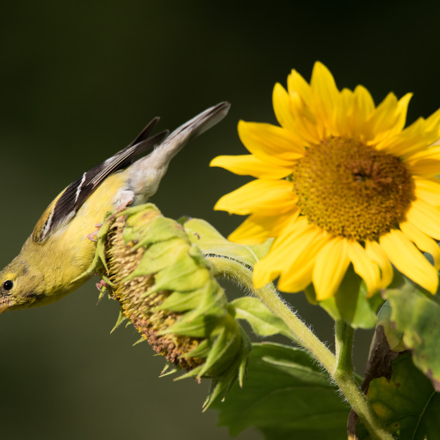 """American Goldfinch on Sunflower"" stock image"