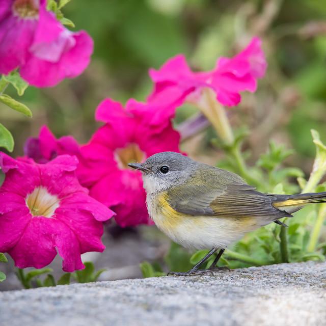 """""""Redstart in Petunias"""" stock image"""