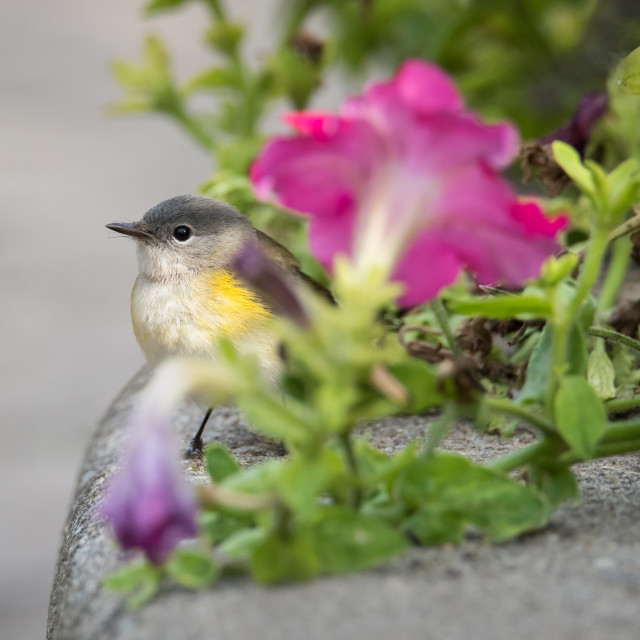 """Redstart in Petunias"" stock image"