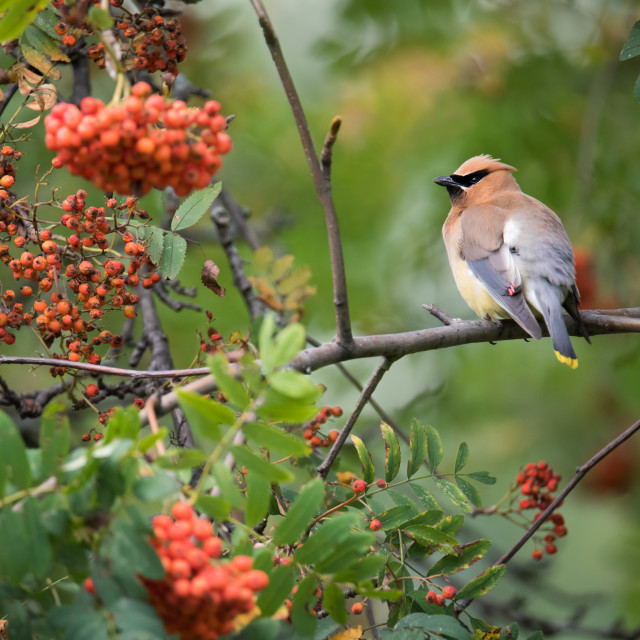"""Cedar Waxwing in Mountain Ash Tree"" stock image"