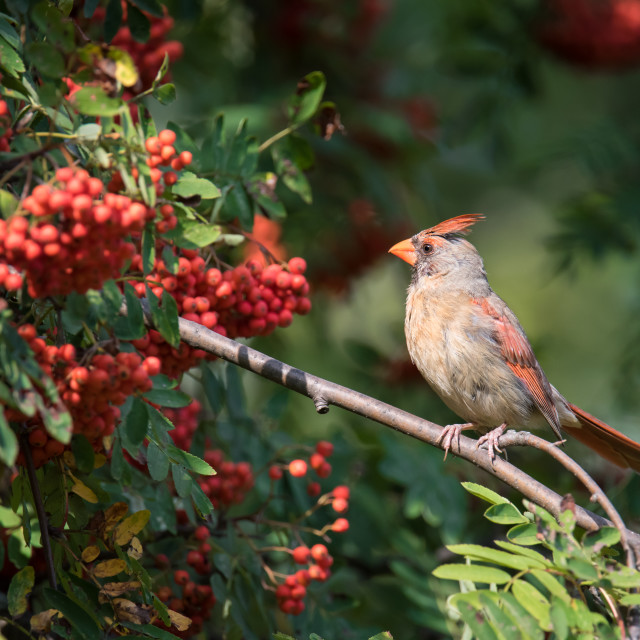"""Northern Cardinal in Mountain Ash Tree"" stock image"