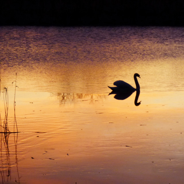 """Swan silhouette on lake at dawn"" stock image"