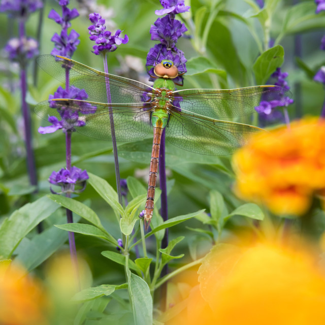 """Common Green Darner"" stock image"