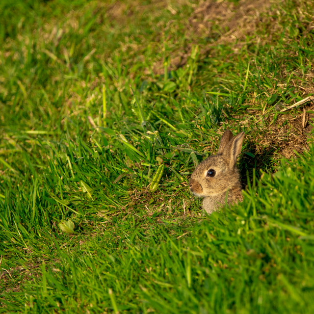 """""""Wild rabbits"""" stock image"""