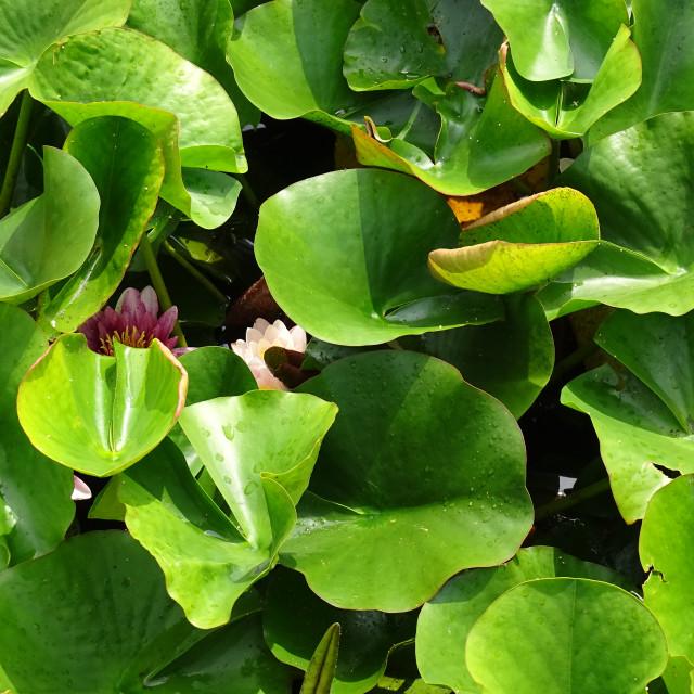 """Nymphea 'Rene Gerard', water flower"" stock image"