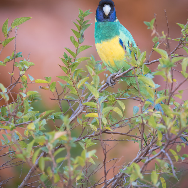 """Port Lincoln Parrot at Ormiston Gorge, Northern Territory"" stock image"
