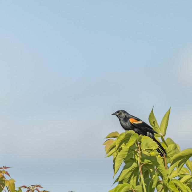 """The red-winged blackbird (Agelaius phoeniceus)"" stock image"