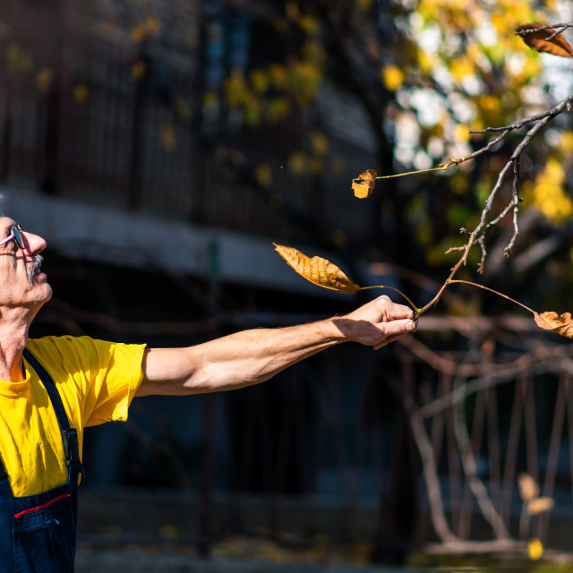 """""""Man punching autumn leaves from the tree"""" stock image"""