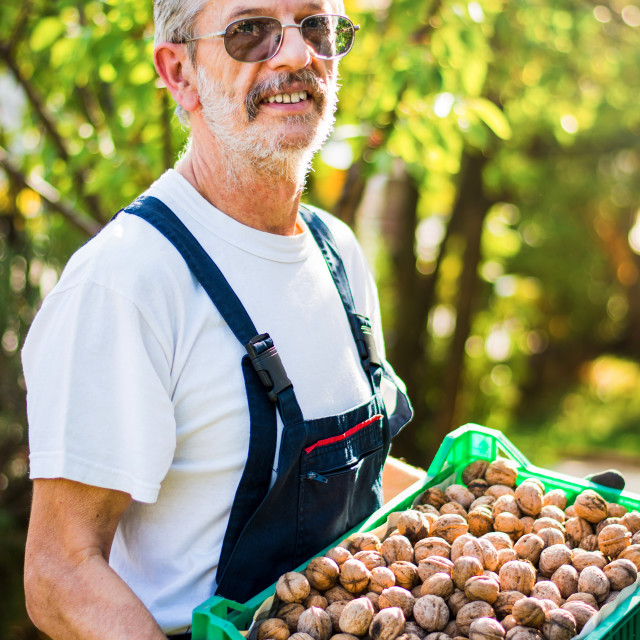 """Senior holding box full of walnuts"" stock image"
