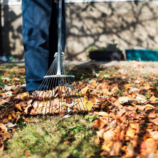 """""""Man cleaning fallen autumn leaves in the yard"""" stock image"""