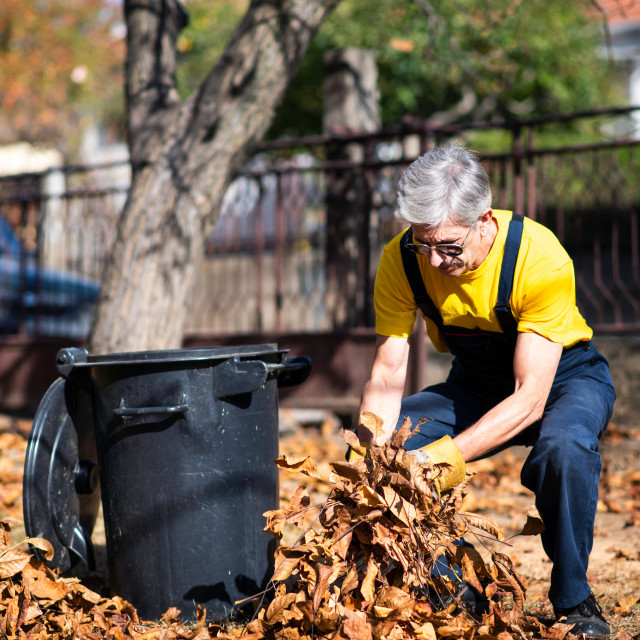 """""""Senior collecting fallen autumn leaves in the yard"""" stock image"""