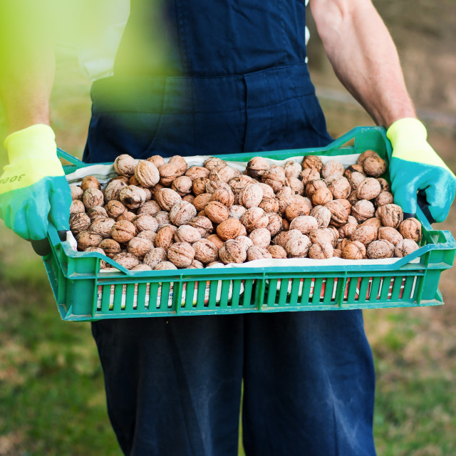 """Man holding box full of walnuts"" stock image"