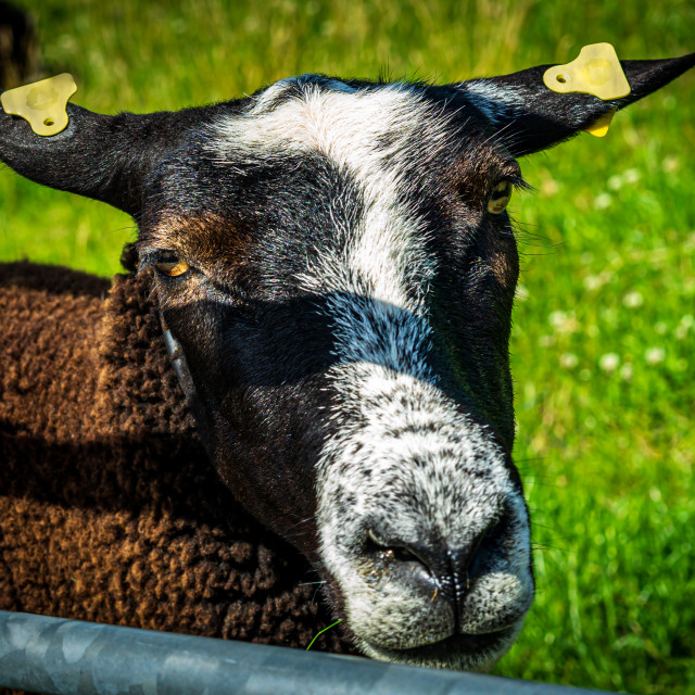 """""""Handsome brown sheep 3"""" stock image"""