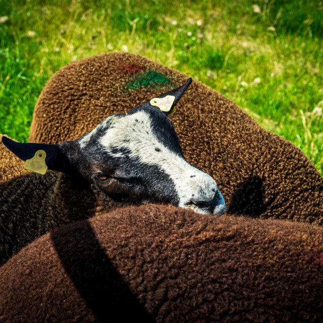 """Handsome brown sheep 4"" stock image"