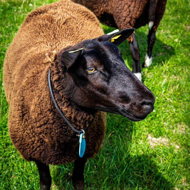 """Handsome brown sheep 2"" stock image"