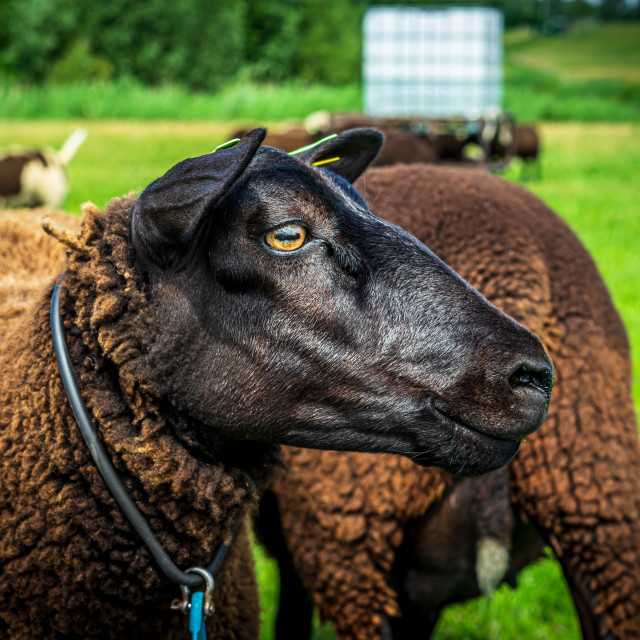 """""""Handsome brown sheep 1"""" stock image"""