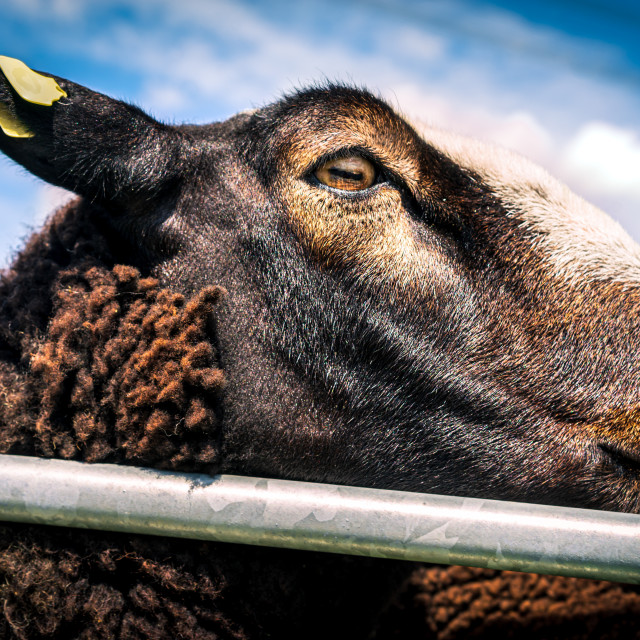 """Handsome brown sheep 9"" stock image"