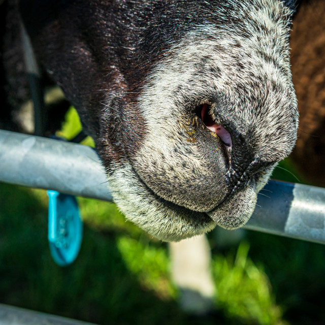 """""""Handsome brown sheep 5"""" stock image"""