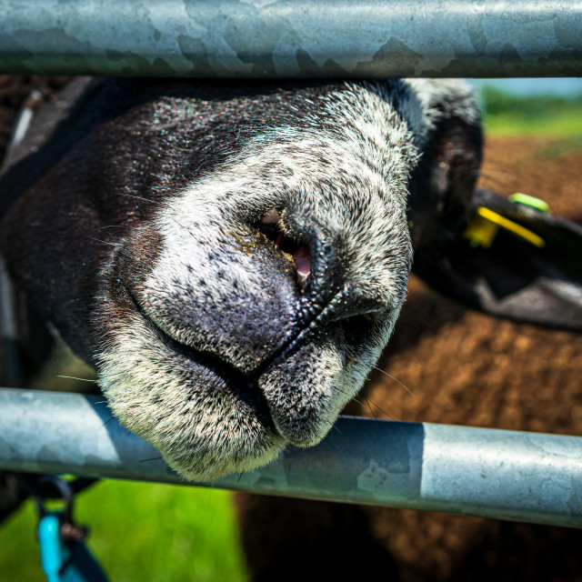 """""""Handsome brown sheep 6"""" stock image"""