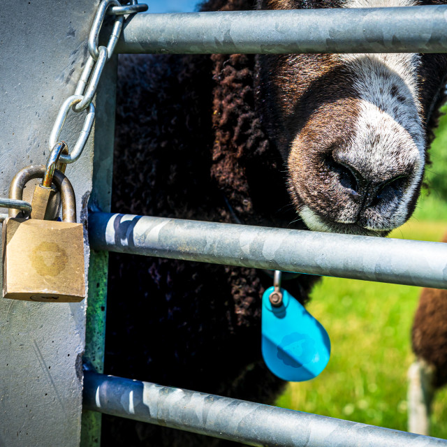"""""""Handsome brown sheep 8"""" stock image"""