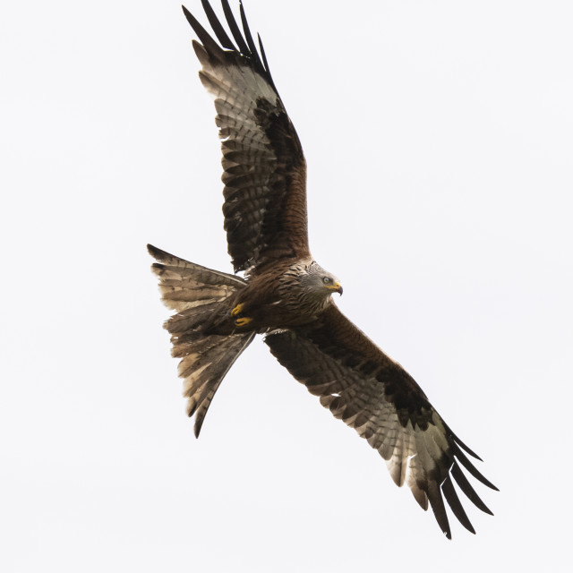 """Red Kite looking for food"" stock image"